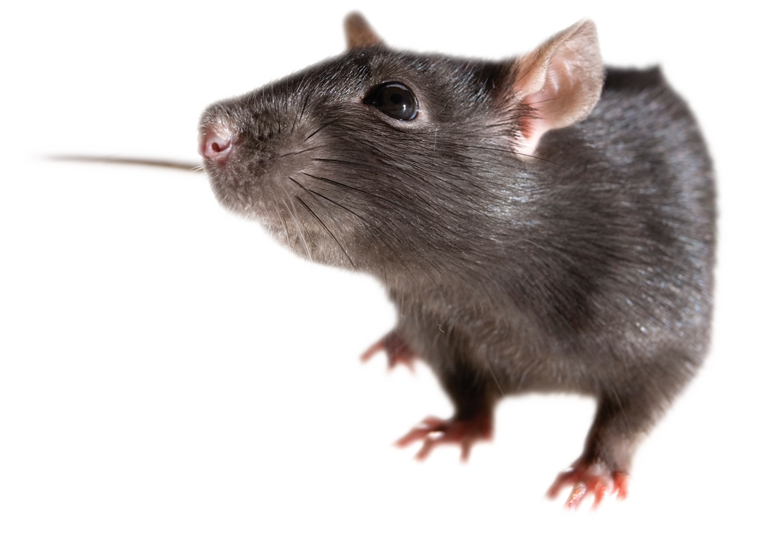 rat pest control north london and home counties